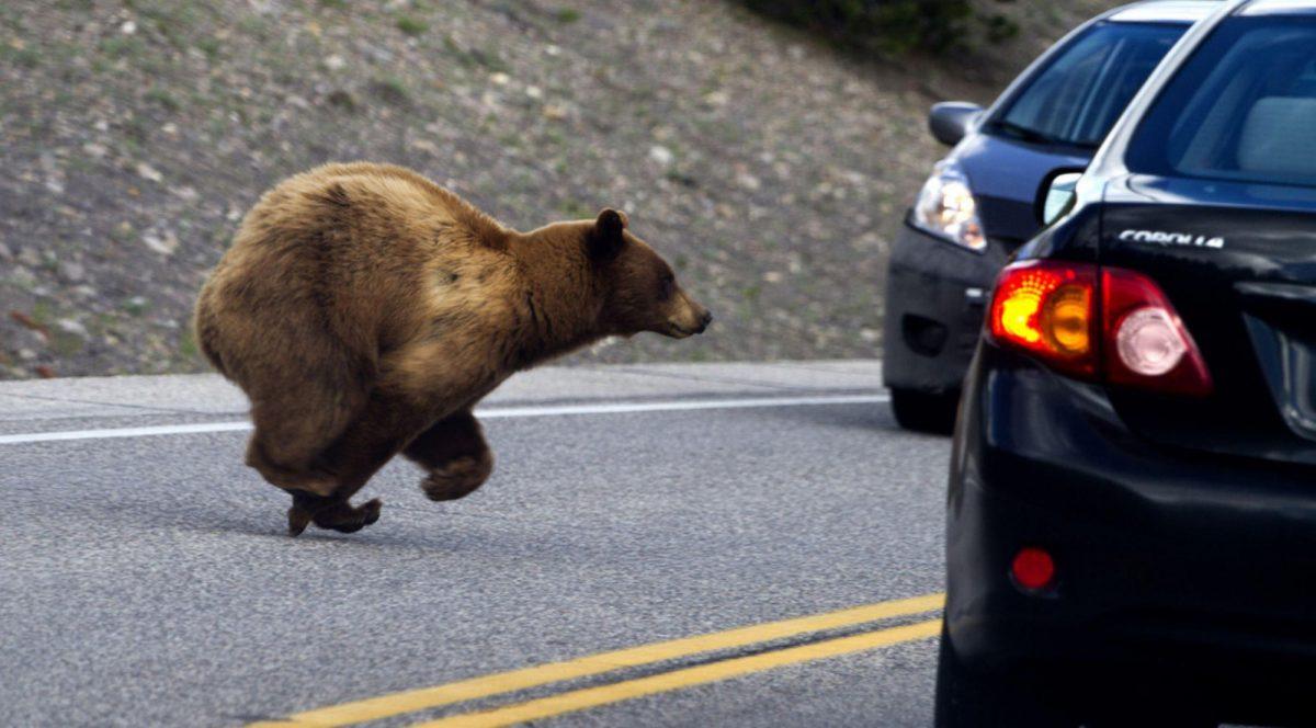 VIDEO | Un oso abre la puerta de un auto y se pone al volante