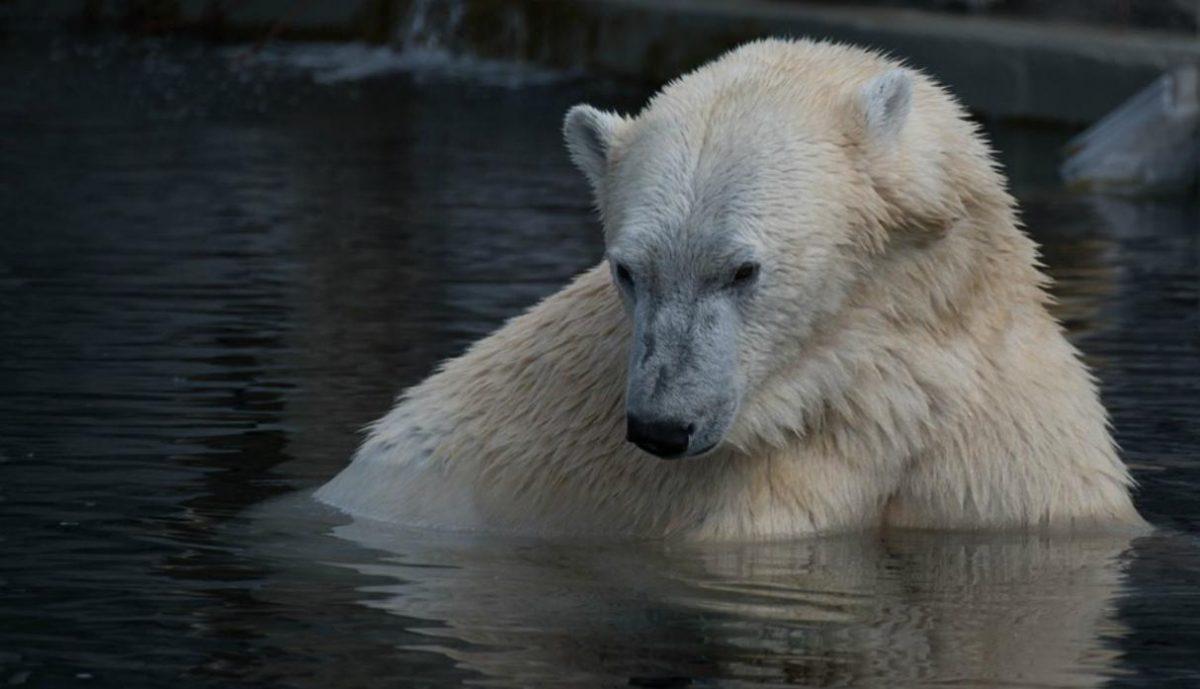 VIDEO   Oso polar intenta 'reanimar' a un ave que le dieron como alimento