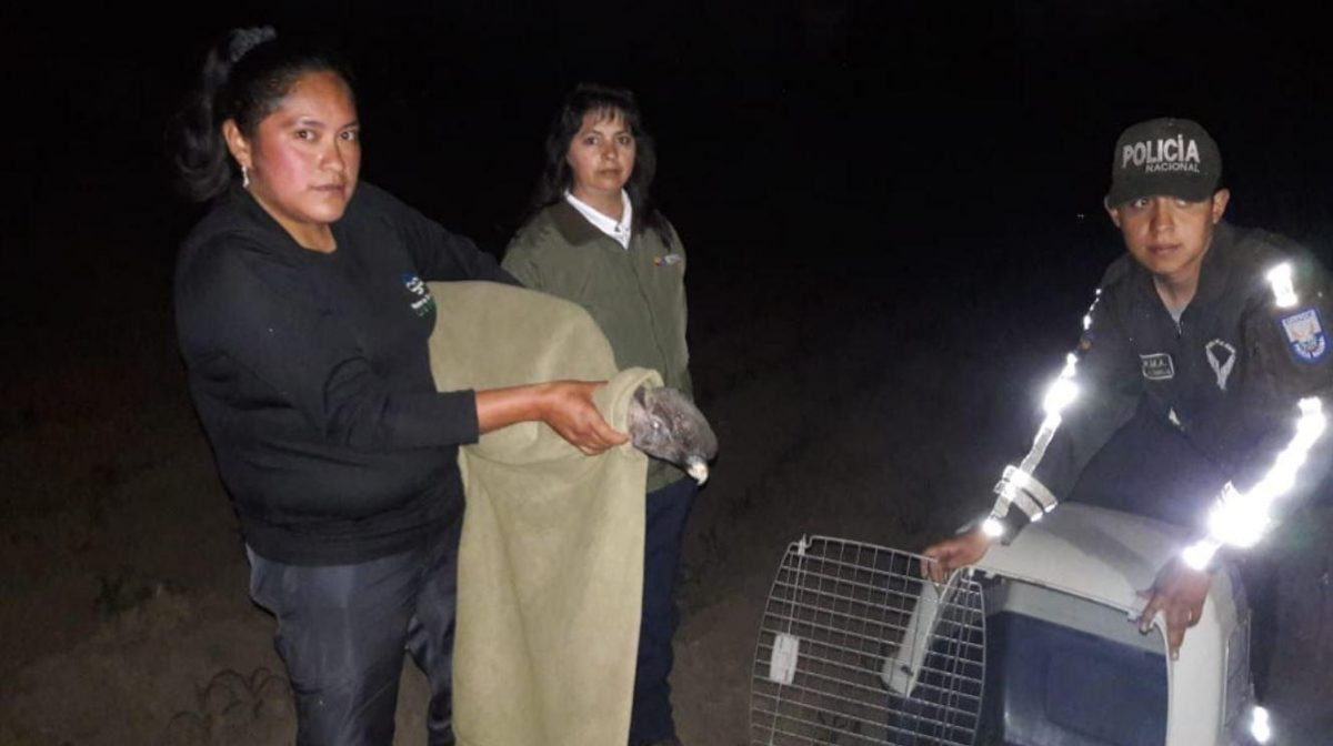 Dos cóndores envenenados en Cotopaxi