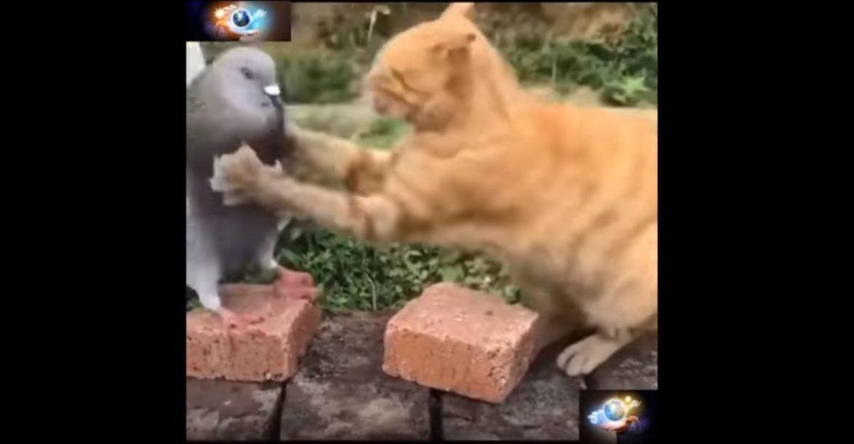 VIDEO: pelea entre un gato y una paloma enciende las redes
