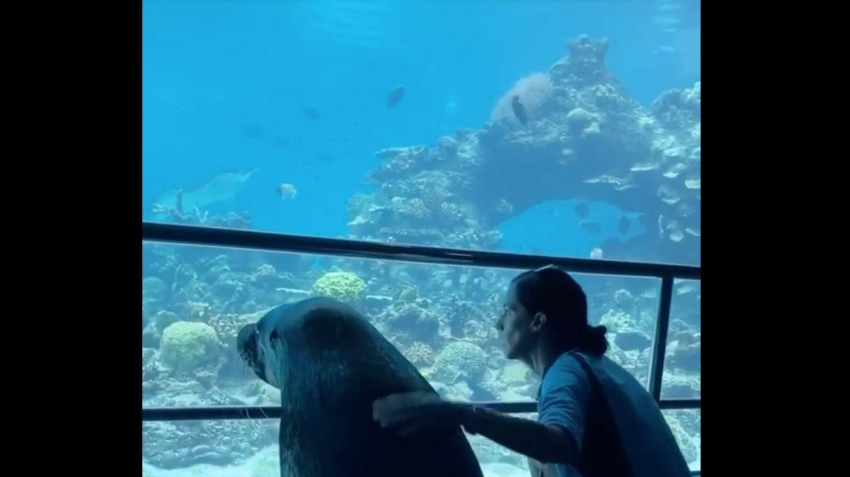VIDEO: Un león marino sale pasea por su acuario vacío durante la cuarentena