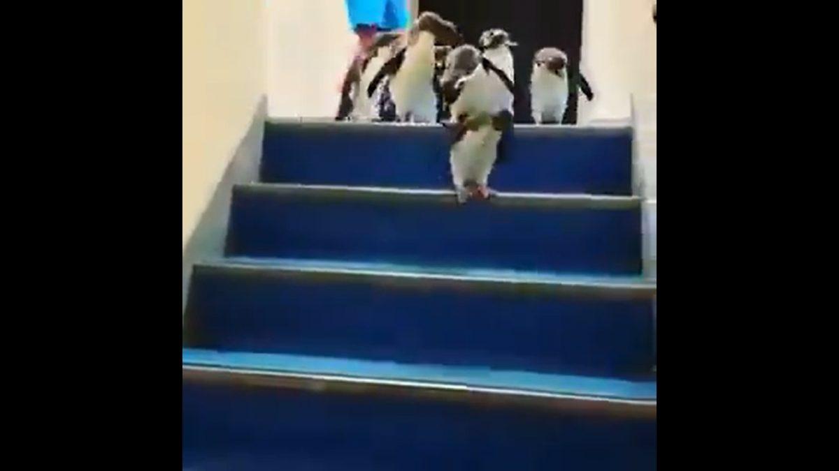 El tierno video de unos pingüinos que pasean por un acuario cerrado por el coronavirus