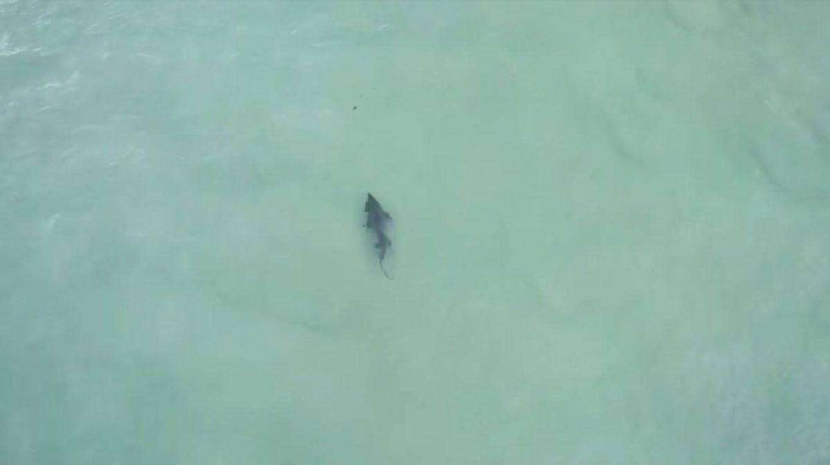 VIDEO: un tiburón persigue a un nadador que no se da cuenta del peligro