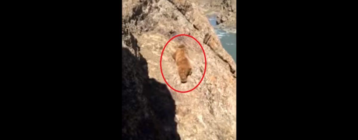 Un oso cae a un precipicio tras ser apedreado por un grupo de personas