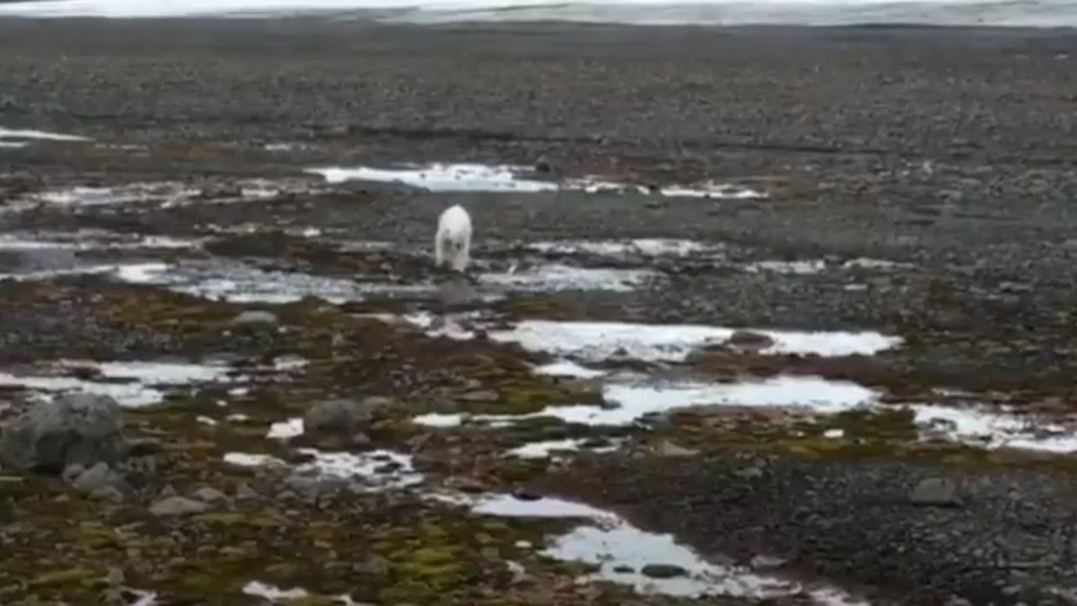 VIDEO | Un oso polar hambriento obliga a exploradores a resguardarse en un avión