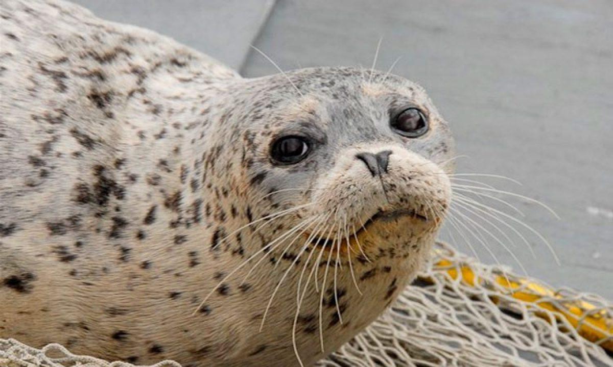 Investigan hallazgo de casi 300 focas muertas en Alaska