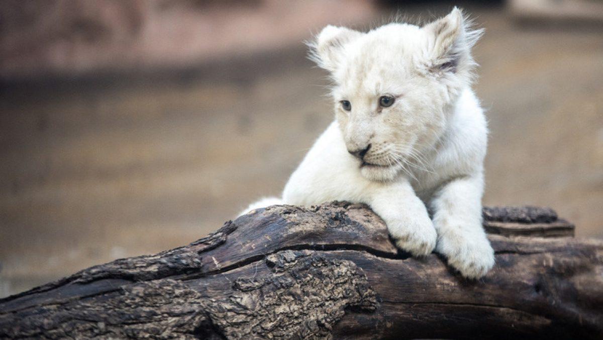 Filman un raro cachorro blanco de león en Sudáfrica