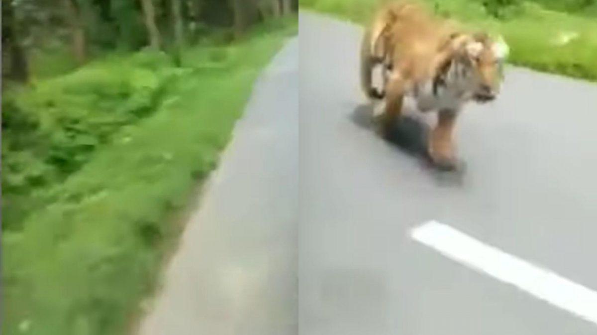 VIDEO | Dos motociclistas escapan del ataque de un tigre de Bengala en la India