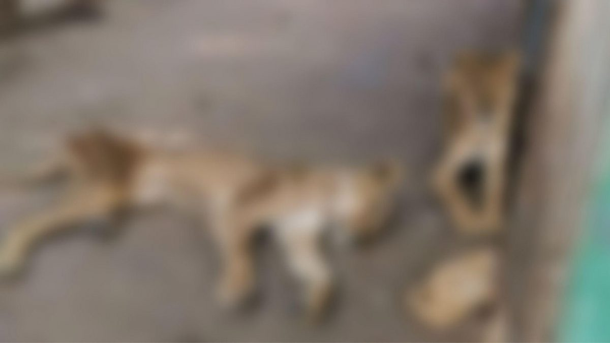 Víctimas de un zoológico: Leones al borde de la muerte en Sudán