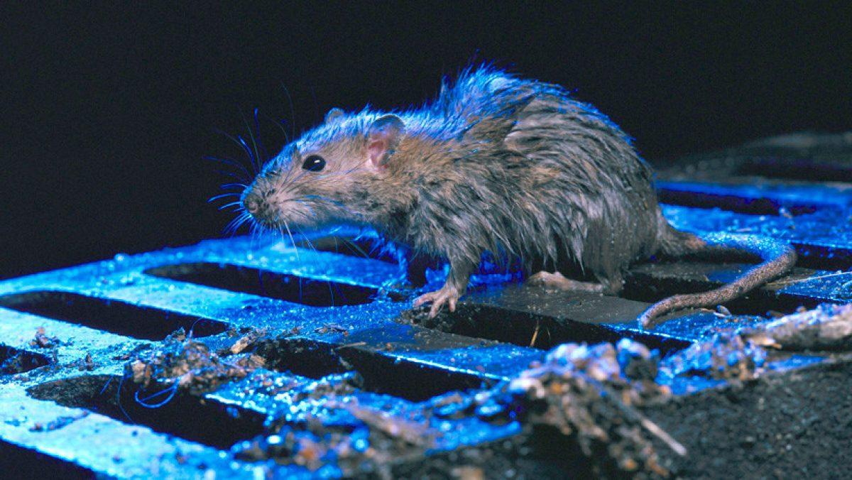 """Ratas del """"tamaño de un gato"""" invaden una ciudad neozelandeza"""