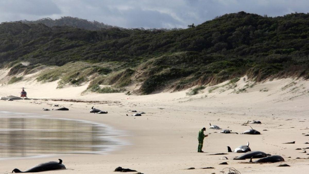 28 ballenas halladas muertas en una playa del sureste de Australia
