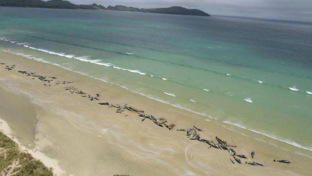 Nueva Zelanda: 51 ballenas piloto mueren al quedar varadas en sus costas