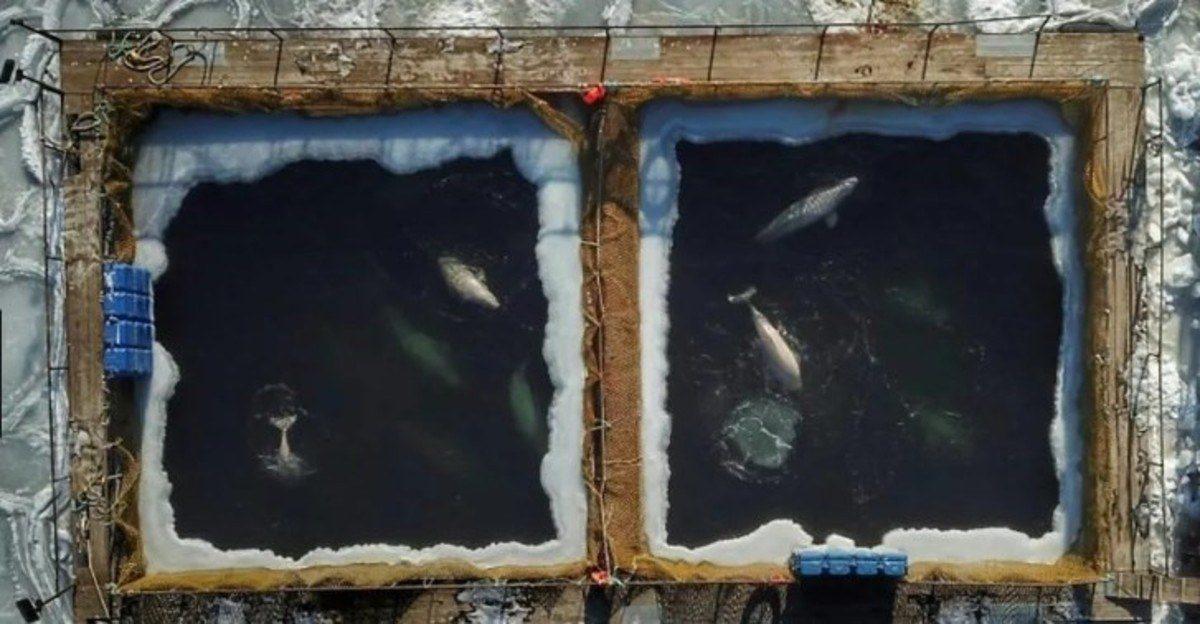 VIDEO | Vladimir Putin tiene la cárcel de ballenas más grande del mundo