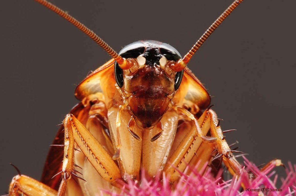 Las cucarachas se están volviendo inmunes a los insecticidas