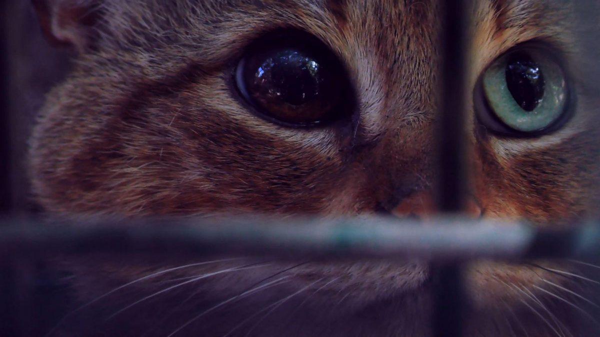 VIDEO | Gato-zorro: una nueva especie sorprende a la comunidad científica