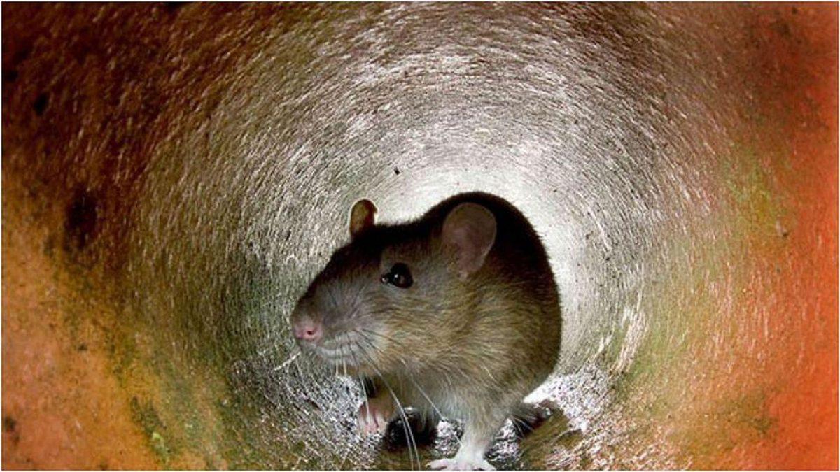 Detectan una especie rara de hantavirus poco estudiada y peligrosa para los humanos
