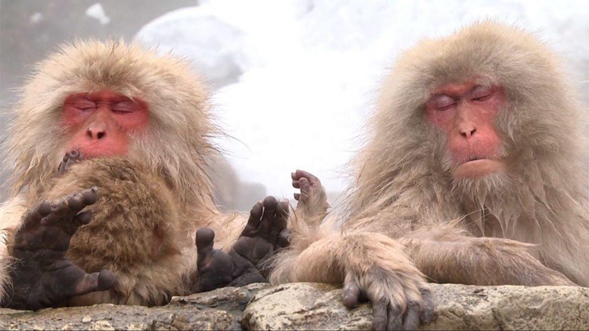 China clona monos genéticamente modificados