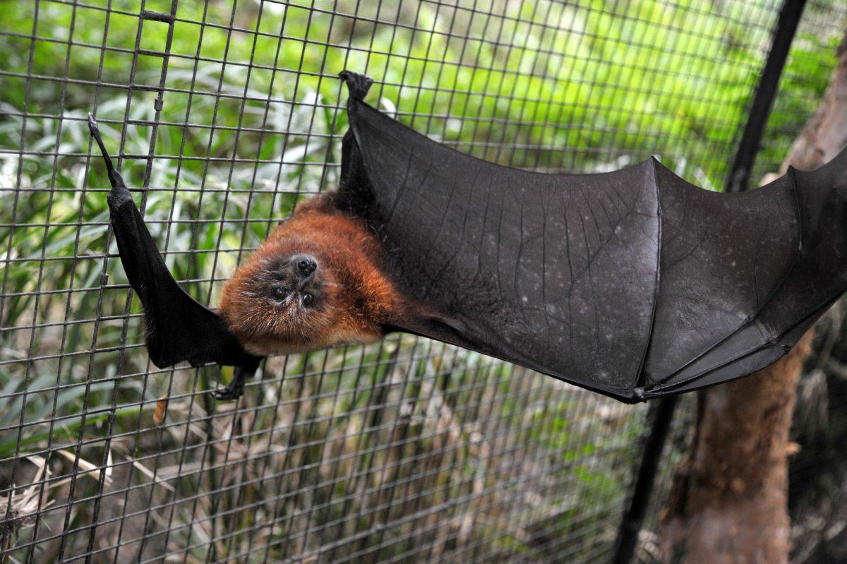 Una enfermedad bacteriana vinculada a los murciélagos está siendo estudiada
