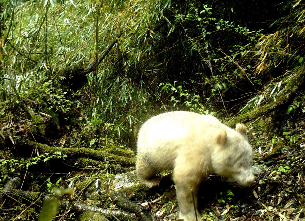 VIDEO | Un raro ejemplar de oso panda albino fue avistado en China