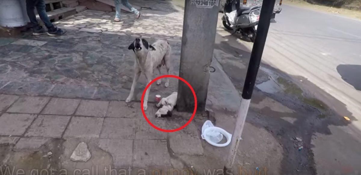 VIDEO | Can callejero pide ayuda por su cachorro moribundo