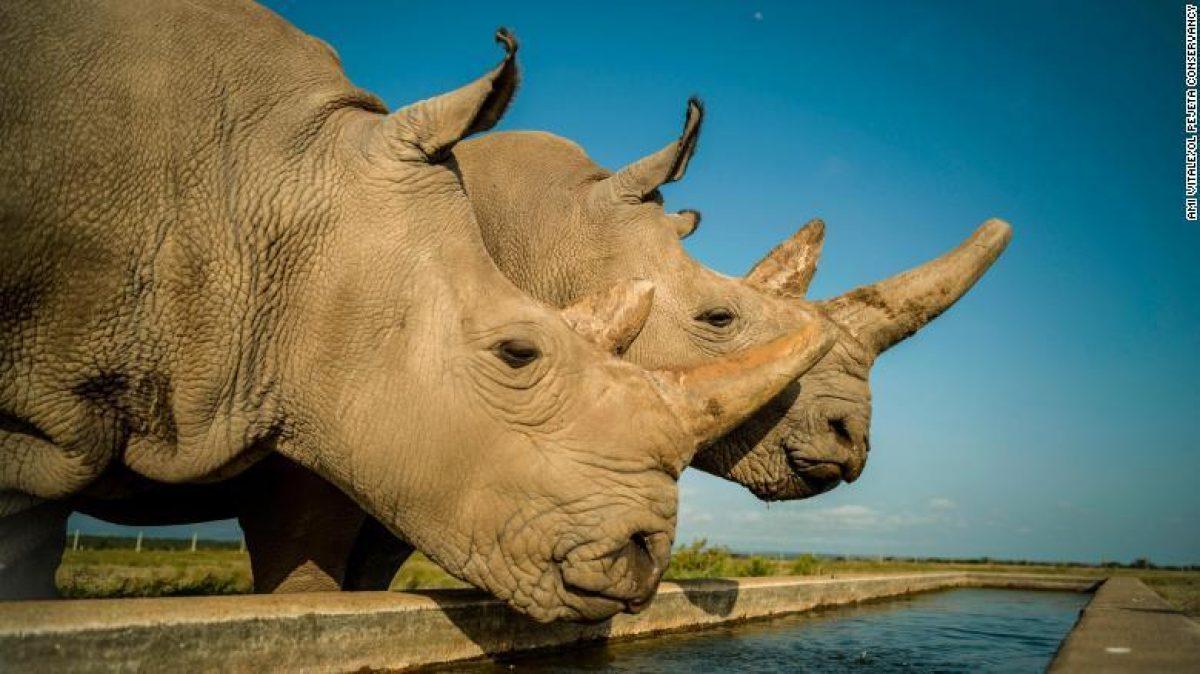Científicos crearon embriones de rinoceronte blanco del norte para salvarlos de la extinción