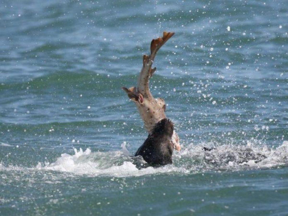 VIDEO: captan feroz ataque de león marino a tiburón