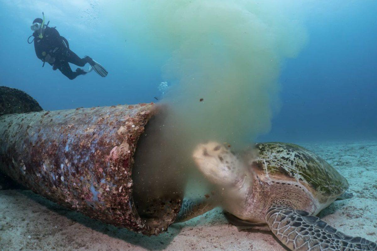 VIDEO |  Una tortuga marina en peligro de extinción se alimenta de desechos residuales