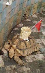 INDIGNANTE: Zoo chino pega una canasta sobre una tortuga para que le lancen 'monedas de la suerte'