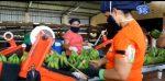 Sector bananero del país mantiene las exportaciones con normalidad