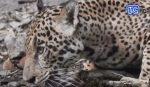VIDEO: Varias especies animales salvajes han sido captadas libremente en Guatemala