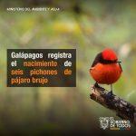 Galápagos registra el nacimiento de seis pichones de pájaro brujo