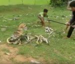 VIDEO: una serpiente captura a un perro en un lance mortal pero sus fieles amigos lo rescatan