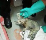 VIDEO | Gato llevaba celulares a presos en cárcel de Costa Rica