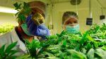 Expertos señalan que el uso medicinal del Cannabis ayuda a pacientes con discapacidad