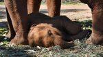 Una cría de elefante cae exhausta tras caminar atada a su madre mientras transporta turistas