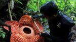 """Hallan en Indonesia la flor """"más grande"""" del mundo"""
