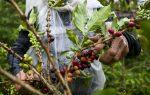 VIDEO | Los bajos precios hunden en la desolación a los cafeteros de Colombia