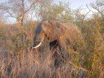 Un presunto cazador furtivo muere en Sudáfrica aplastado por un elefante y devorado por los leones