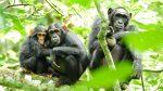 Científicos descubren una 'civilización' desarrollada de chimpancés