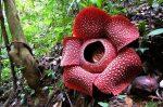 Indonesia: Florece la flor más grande del planeta