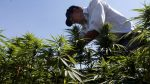 Consumidores de marihuana se duplicaron en Canadá tras su legalización