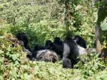 VIDEO | Gorilas idean plan para no mojarse por fuertes lluvias en un zoológico de EE.UU.