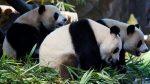 VIDEO: desesperación en zoológico cuando una niña cae al hábitat de pandas