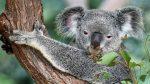 Un koala se 'infiltra' en un auto con aire acondicionado para escapar del calor