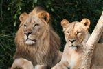 Crió a 2 leones y terminó devorado por uno de ellos