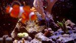 Una familia casi muere por un potente veneno liberado por el coral mientras limpiaban su pecera