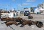 VIDEO: Lobos marinos se apropian de algunas calles en Mar del Plata, Argentina