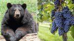 VIDEO | Oso con un paladar exquisito es captado comiendo uvas para hacer un vino muy caro