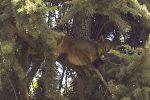 VIDEO: rescatan a puma que permaneció horas sobre un árbol en Chile