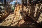 Cinco leones y otros animales serán sacados de un zoológico de Gaza